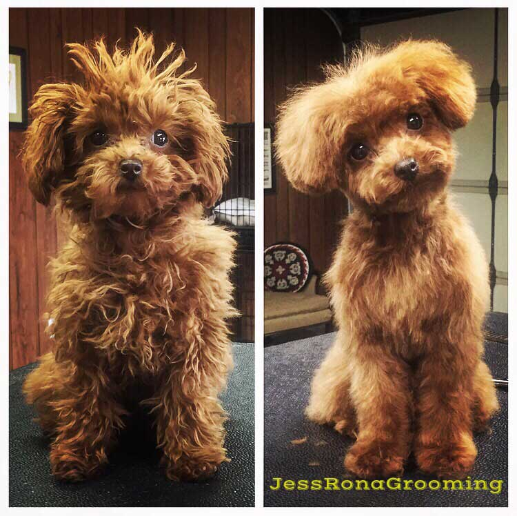 Katy Perry's dog, Nugget, after her first groom with Jess Rona (right)