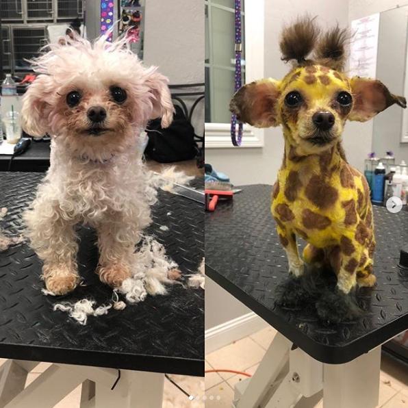Groomer Katrina Short turns another dog into a giraffe