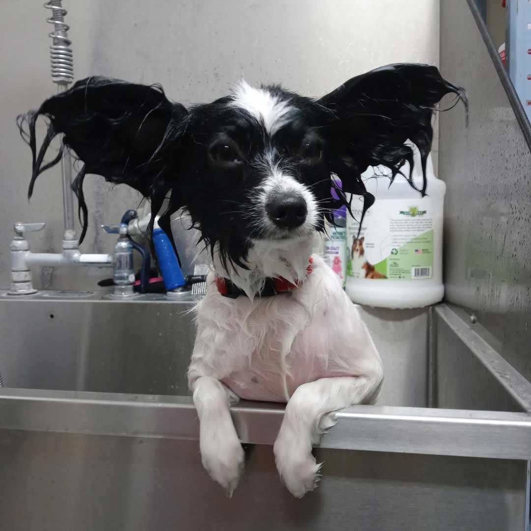 Papillion in the grooming tub