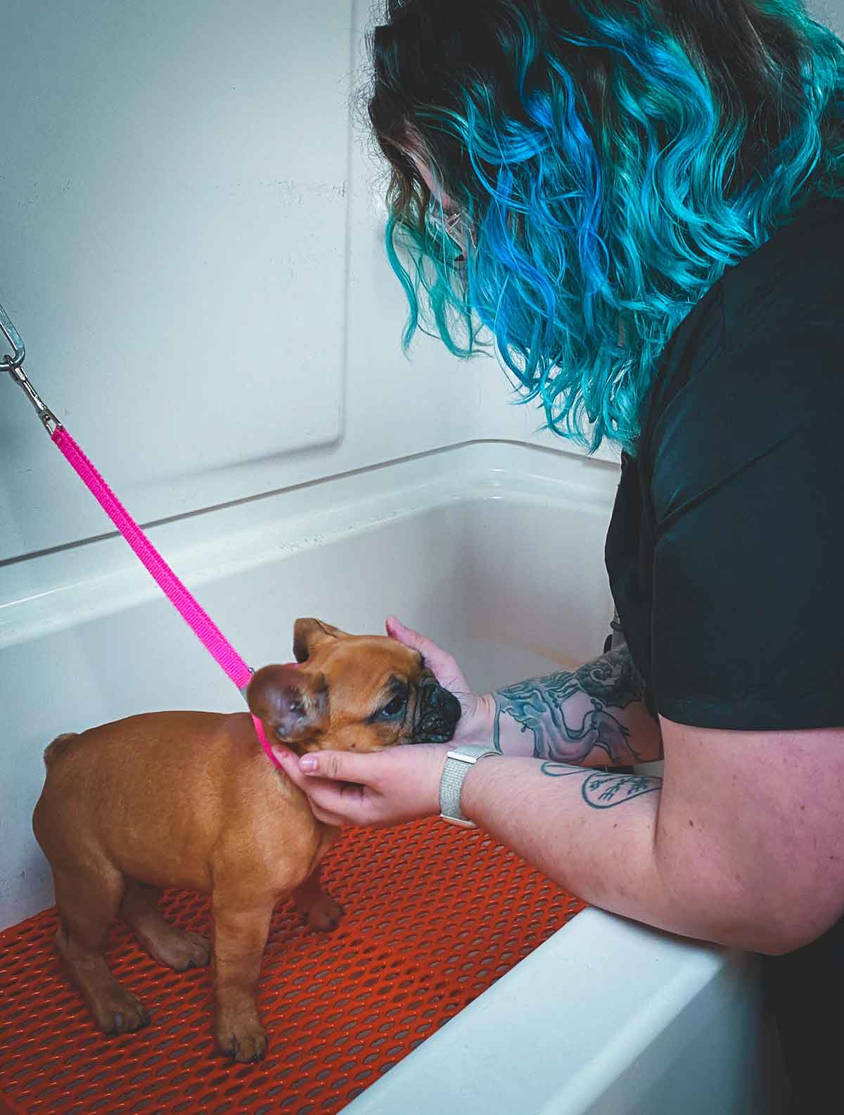 Taylor grooming a little frenchie dog