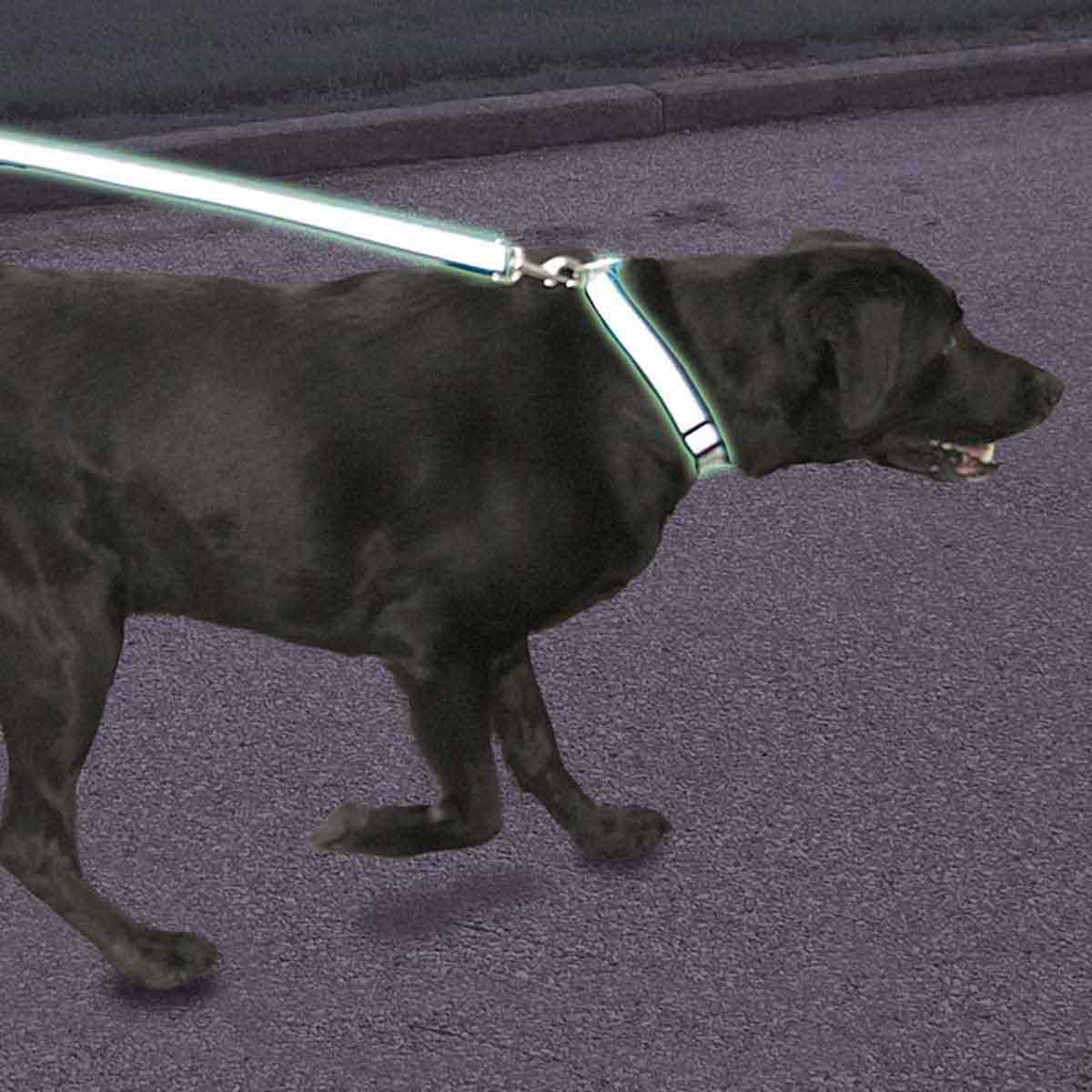 Walking dog wearing Coastal Lazer Brite Reflective Lead for Dogs 4 feet by 3/8 in