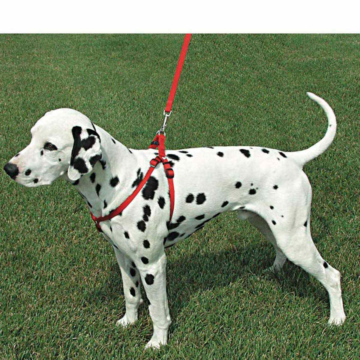 "Dalmation Dog wearing Coastal Comfort Wrap Adjustable Harness 3/8"" X 12-18"""
