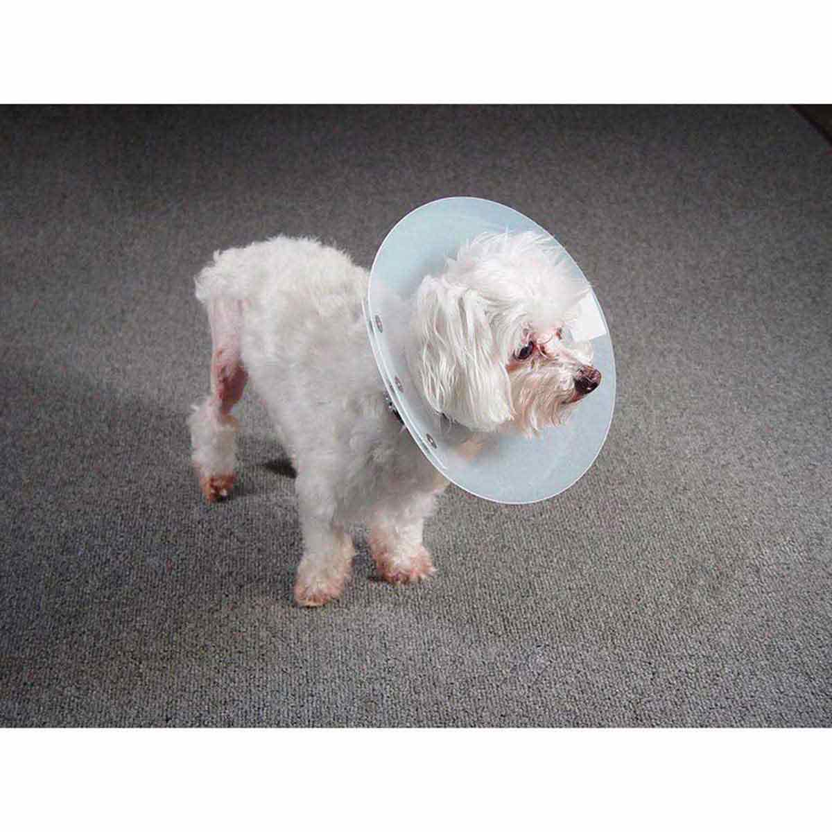 Dog wearing KVP Saf-T-Shield Elizabethan Collar - 6.25-8.5 inch Opening