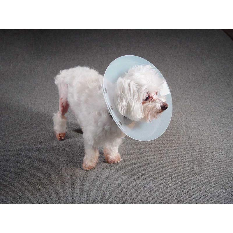 Dog modeling the KVP Saf-T-Shield Elizabethan Collar with 10-13.5 inch Opening for head