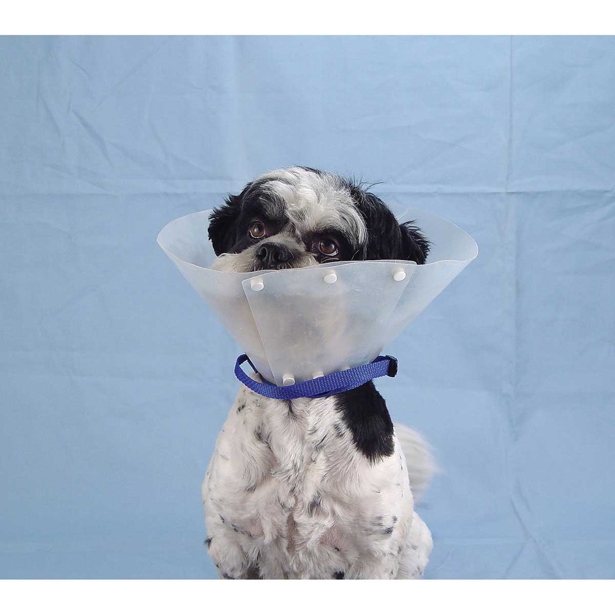 Elizabethan Style Collar Strap on Cute Dog