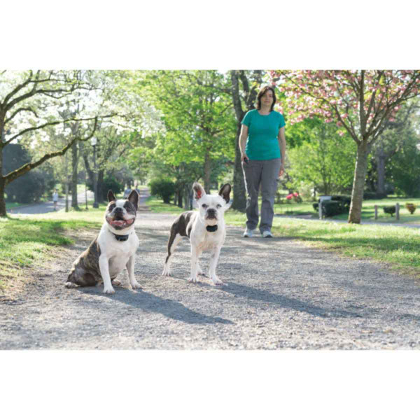 Two dogs wearing PetSafe 300 Yard Lite Remote Trainer