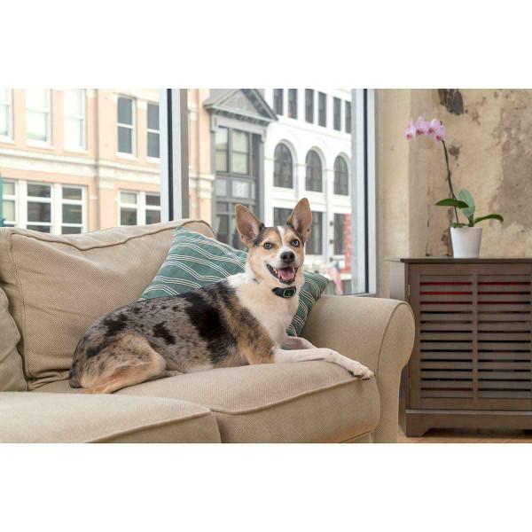 Dog wearing PetSafe Lite Rechargeable Bark Collar