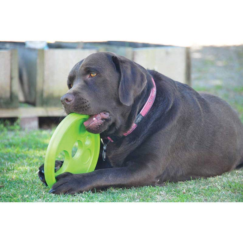 Senior Dog playing with Green ROGZ Flying Object Disc